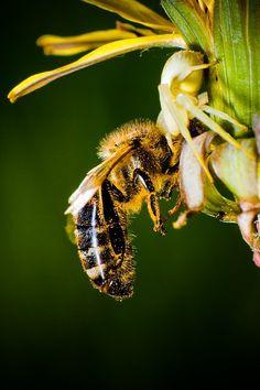 Bee, Macro