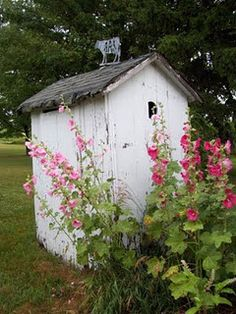Hollyhocks...during the Victorian era, these stately flowers became a popular disguise for the necessary room (outhouse).