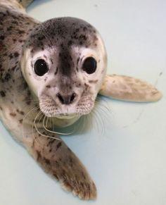 seal pup, big eyes, pet, sea lions, alaska, babi seal, ears, baby animals, animal babies