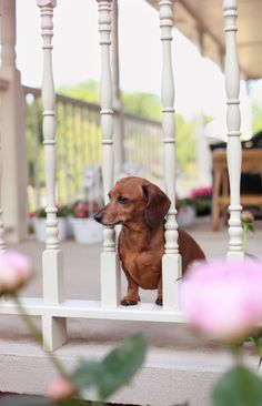 All porches need a Dachshund...  #Doxie ♥ LOVE