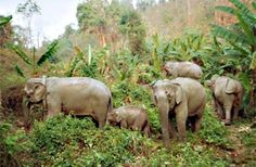 """This offers to visit the culture city and you will experience the protected Elephants at the """"Elephant Park Project"""" along the Nam Khan riverbanks"""
