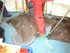 Giant Skate Fishing Out of Oban, Argyll - is this your idea of big game fishing?