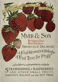 Fruit Tree growers catalogue of strawberries, raspberries, chestnut, walnut & nut trees from Myer & Son, Delaware