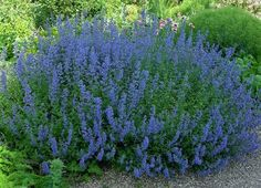 ~Meadow Sage~ This d