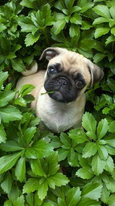 Pug love #pugfanatic