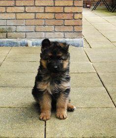 puppy german shepherd. (the ears!)