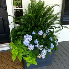 Huge planters on front porch with ferns & sweet potato vines.