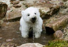 baby polar bear!!! Cuteeeee