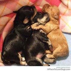 Cute puppies cuddling