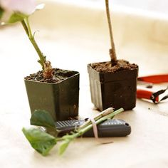 Grafting is a great way to propagate many trees, shrubs, and roses. Here's how to do it.
