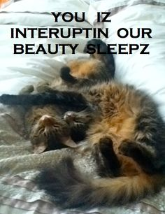 Cat Meme with Benji and Lucy #catmeme
