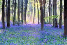 tree, heaven, bluebel wood, doug chinneri, purple flowers, beauti, forest, texas bluebonnets, place