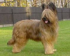 Berger de Brie (Briard) Fawn, Grey Variety France