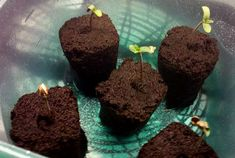 Seedling starter plugs (like the Rapid Rooters pictured here) are an easy and straightforward way to germinate cannabis seeds.