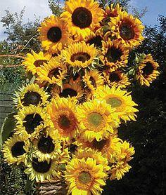 How to grow sunflowers #home #garden #flower #sunflower
