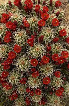 Cacti in bloom...