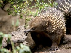 Also known as the 'Spiny Ant-eater' and 'Short-beaked Echidna', this species is found widely around Australia and in Papua New Guinea and Indonesia.  Echidna species and the Platypus are the only animals in the Monotremata order: mammals that lay eggs.