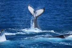 Heads or tails? Rebecca Goodman goes Humpback Whale Watching in the calm waters on the lee side of Fraser Island #HATH #fraserisland #queensland #australia #humpbackwhales #whalewatching http://www.whalewatch.com.au/ www.queensland.com/whales
