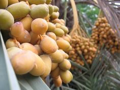 Dates (Arabic: تمر Tamr) have been a staple food of the Middle East for thousands of years. They are believed to have originated around the Persian Gulf, and have been cultivated since ancient times from Mesopotamia to prehistoric Egypt, possibly as  How to find cougars who know what they want and can teach you a thing or two are looking for you   here. Learn more on cougarsplace.com