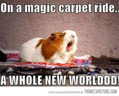 Aladdin guinea pig