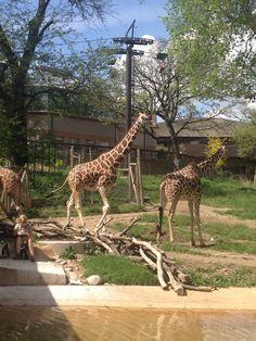 Giraffe's at the Henry Doorly Zoo in Omaha, Nebraska