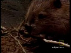 Beavers Are Genius - YouTube  Beavers, part of an ecosystem- how they survive, live.  2:07