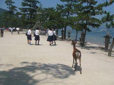 女学生に目をつける鹿(宮島) a deer following some Japanese school girls, Miyajima, Japan