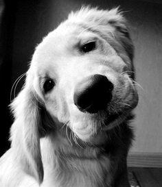 face off, anim, little puppies, golden retrievers, the face, pet, puppy face, baby faces, dog