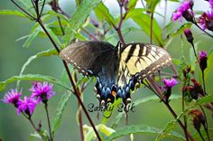 Pretty rare Bilateral gynandromorphism in an Eastern Tiger Swallowtail - No Photoshop here!