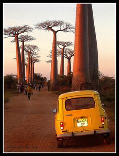 The baobabs in Madagascar.
