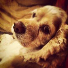 American #cockerspaniel- I love my dog.