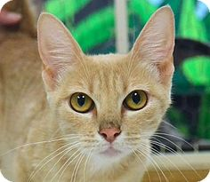 Searcy, AR - Domestic Shorthair. Meet Mitten, a cat for adoption. http://www.adoptapet.com/pet/11572886-searcy-arkansas-cat