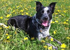 Border Collie Blue Heeler Mix Brown Images & Pictures - Becuo