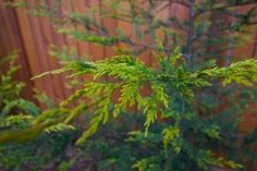 Perfect for natural privacy.  Leyland Cypress Care – Tips For Growing A Leyland Cypress Tree
