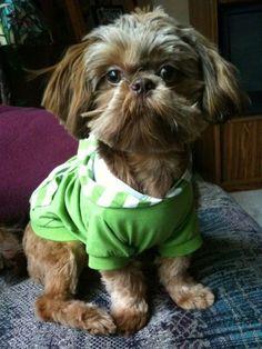 Cute Shih Tzu Puppies - Puppy Pictures