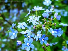 Forget Me Not flowers. Photo by Alecia Viklund (Arctida)