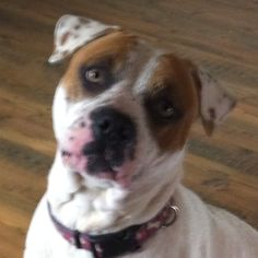 my handsome rescued American Bully Elijah Moon #bulldog #american bulldog #dog #pit bull #rescue