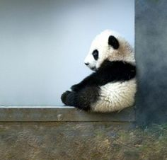 This little Panda looks like it could fit in the palm of a hand