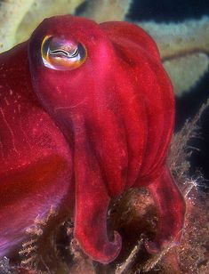 Sepia mestus. Red cuttlefish. water, anim, underwat, sea creatur, cuttlefish, white, oranges, turn red, blues