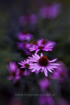 Pretty Purple Daisies