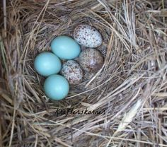Photo Print Bluebird and Sparrow Nest 4 x 6 5 x by krafterskorner, $2.00