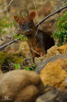 Pudu - endangered, the smallest deer species