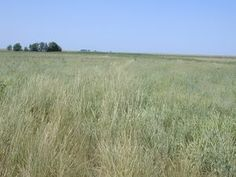 For many years, it created little interest because it is coarse, not particularly drought tolerant and slow to establish. However, it has demonstrated its ability to thrive in subirrigated, saline soil where foxtail barley is usually the dominant grass. Tall wheatgrass is the latest-maturing grass adapted to the continental climate areas of the west and also one of the most productive.