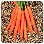 Organic Jeannette F1 Hybrid Carrot.