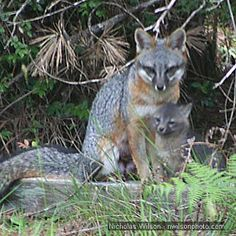 Gray Fox mother and pup
