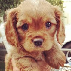 anim, little puppies, old dogs, spaniel, puppy face