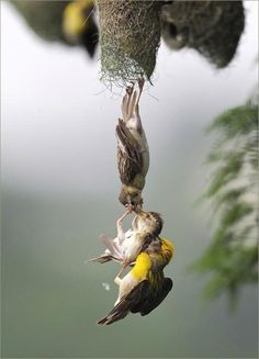 Extraordinary Timing... Mother and Father saving a baby bird from falling. wow... Photo Credit: unknown
