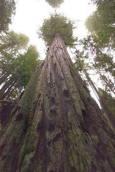 Art the tallest ttree   california Redwood designs