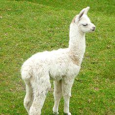 Cute baby llama!