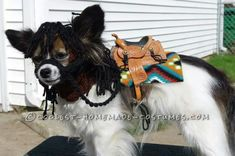 Cutest My Little Pony Costume for a Papillon Dog... Coolest Halloween Costume Contest